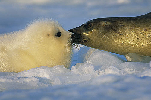 "Before each feeding, a mother sniffs her pup to be sure she is feeding only her pup. This is called the ""Harp Seal Kiss""."