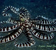 3-mimic-octopus